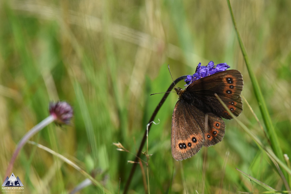 Scotch Argus, Mull, Isle of Mull, Butterfly, Nature Scotland,