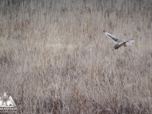 Short-eared Owls...