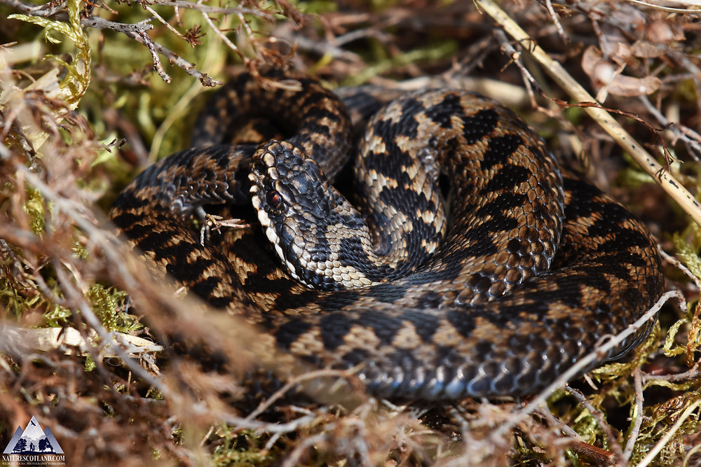 Adder, reptiles, mull, isle of mull, hebrides, nature scotland,