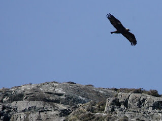 Would you take Scottish Golden Eagles?