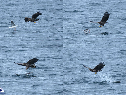 Eagle and Gull Pursuit
