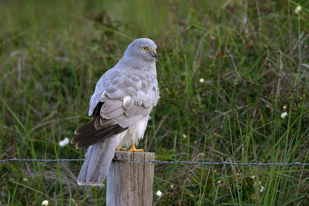 Hen Harrier, Mull Nature Expedition, Nature Scotland, Mull, Isle of Mull,