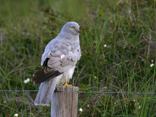 Mull Nature Expedition - Harrier Haven!