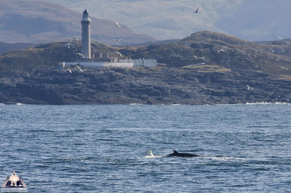 Minke Whale, Ardnamurchan, Nature Scotland,