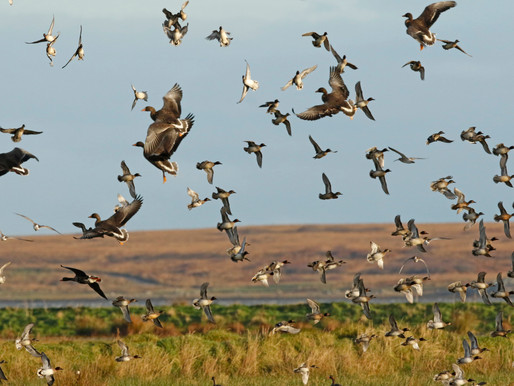 Isle of Islay - Wildfowl Wonderland!