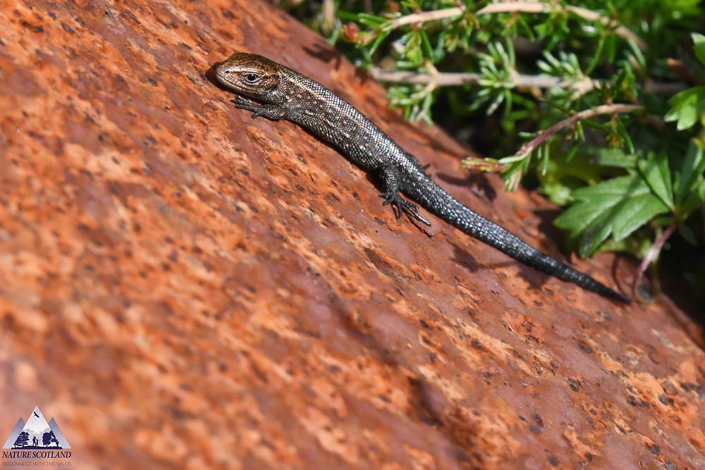 common lizard, viviperous lizard, mull, isle of mull, nature scotland,