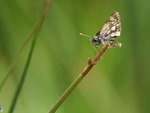 Chequered Skipper...