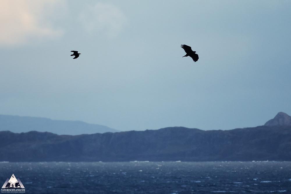 mull, isle of mull, eagles, golden eagle, nature scotland,