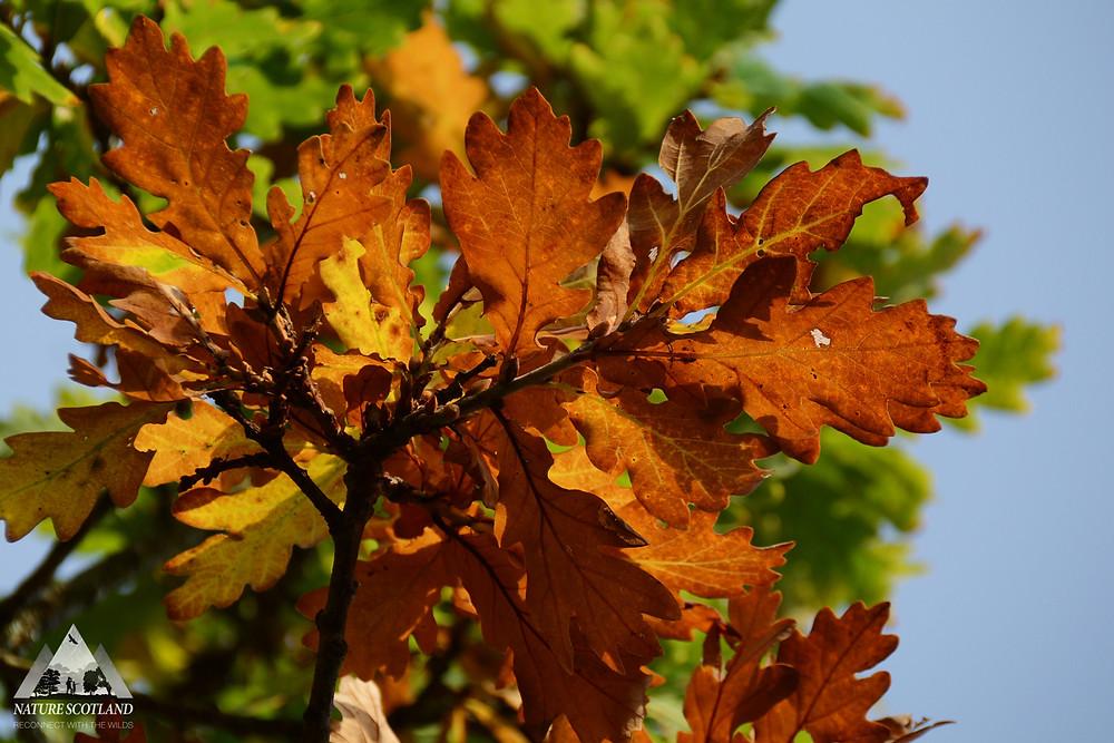 Autumn Leaves, Mull