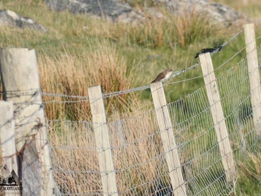 Black-billed Cuckoo!