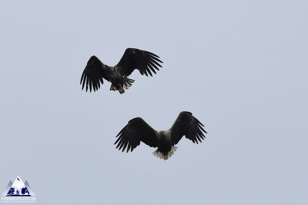 eagle, sea eagle, white-taield eagle, nature scotland,