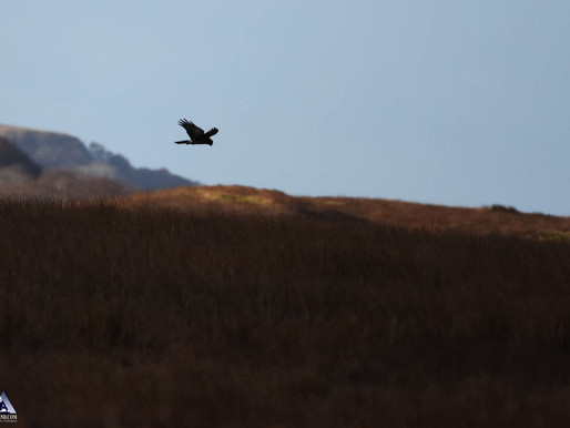 Winter Harriers...