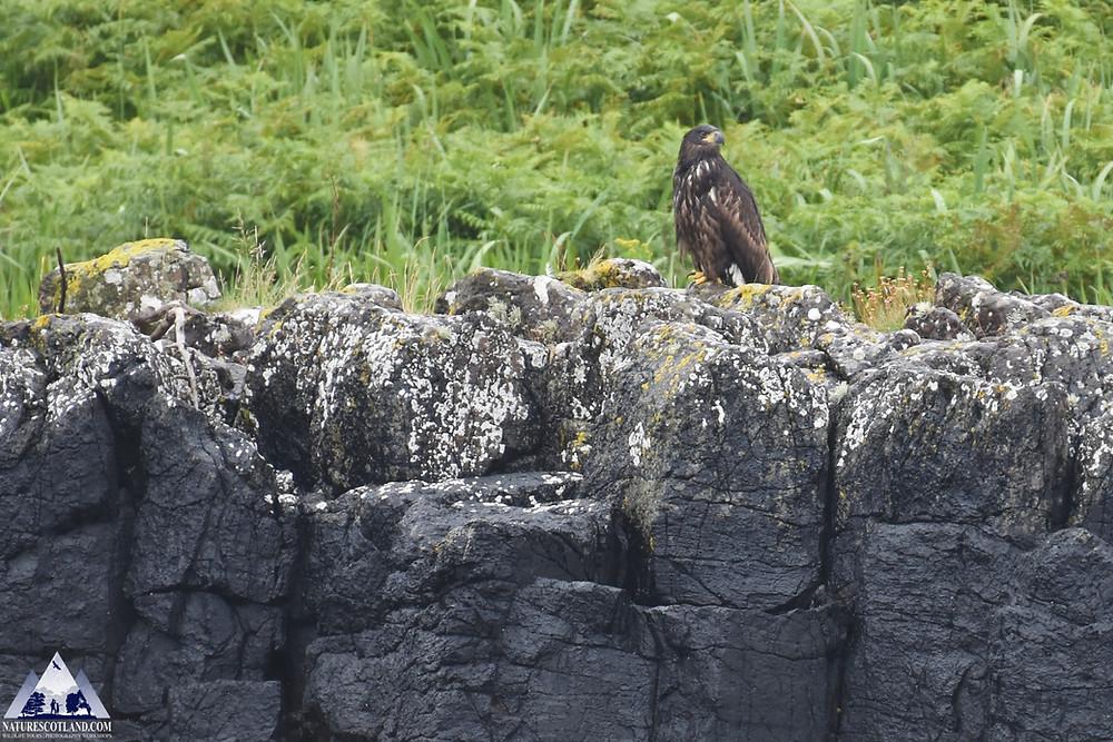 eagles, eagle, mull, isle of mull, white-tailed eagle, sea eagle,