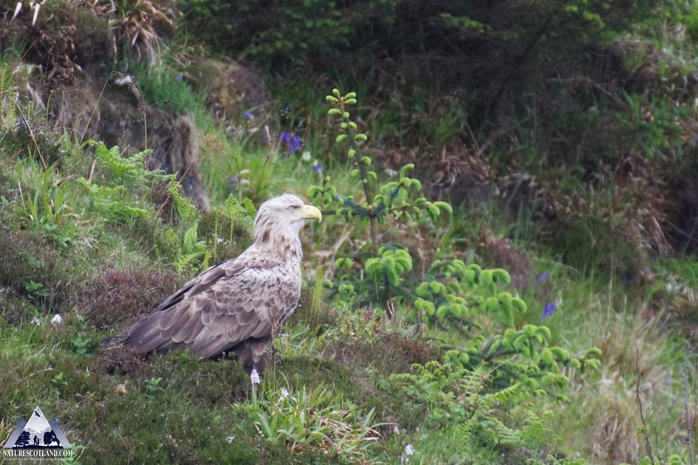 eagle, white-taield eagle, mull, isle of mull, nature scotland,