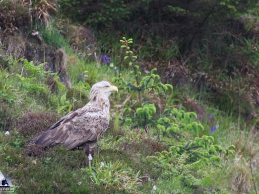 Female WT Eagle...