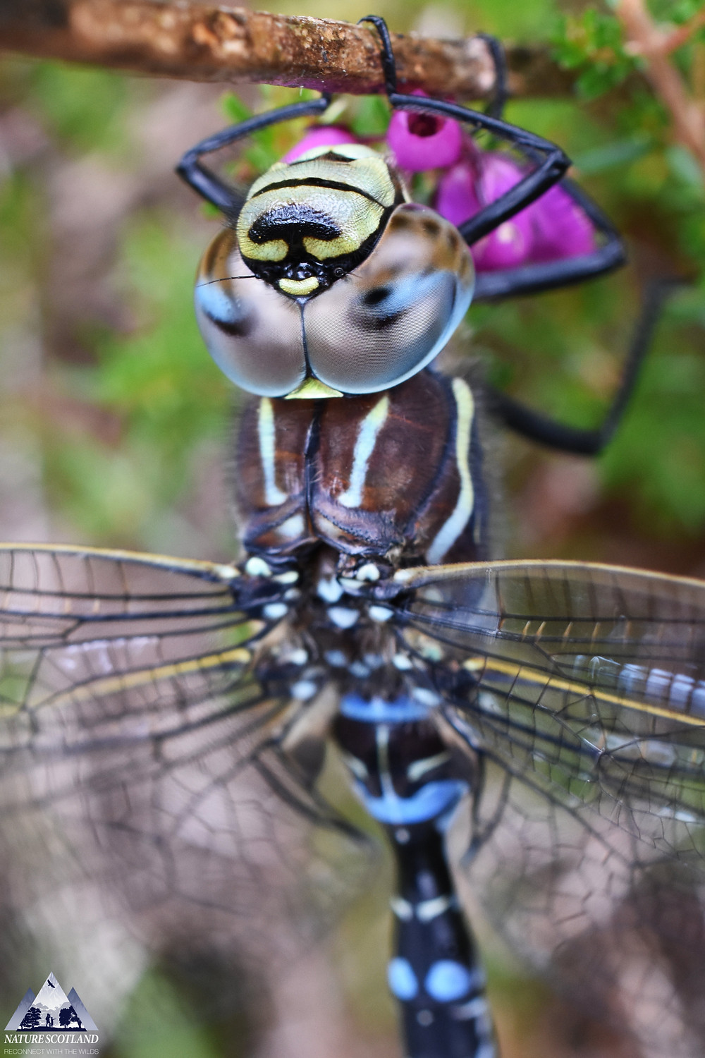isle of mull, mull, dragonfly, nature scotland, common hawker,