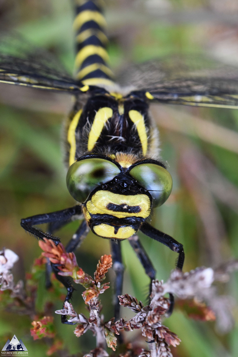 dragonfly, mull, isle of mull, golden-ringed dragonfly, wildlife,