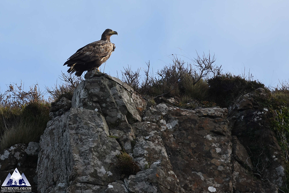 mull, isle of mull, eagles, white-tailed eagle, sea eagle, mull wildlife