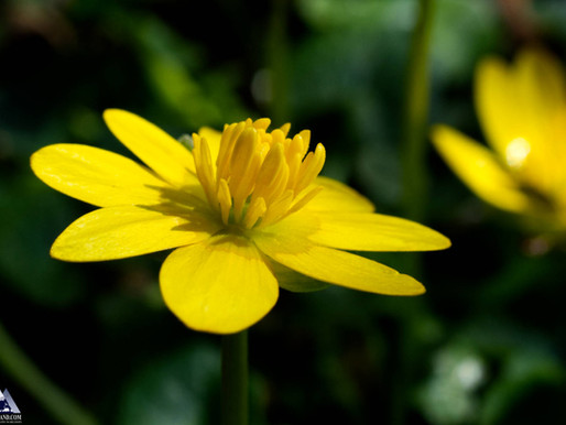 Lesser Celandine photographed in local woods...