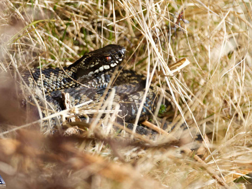 Adders are back!