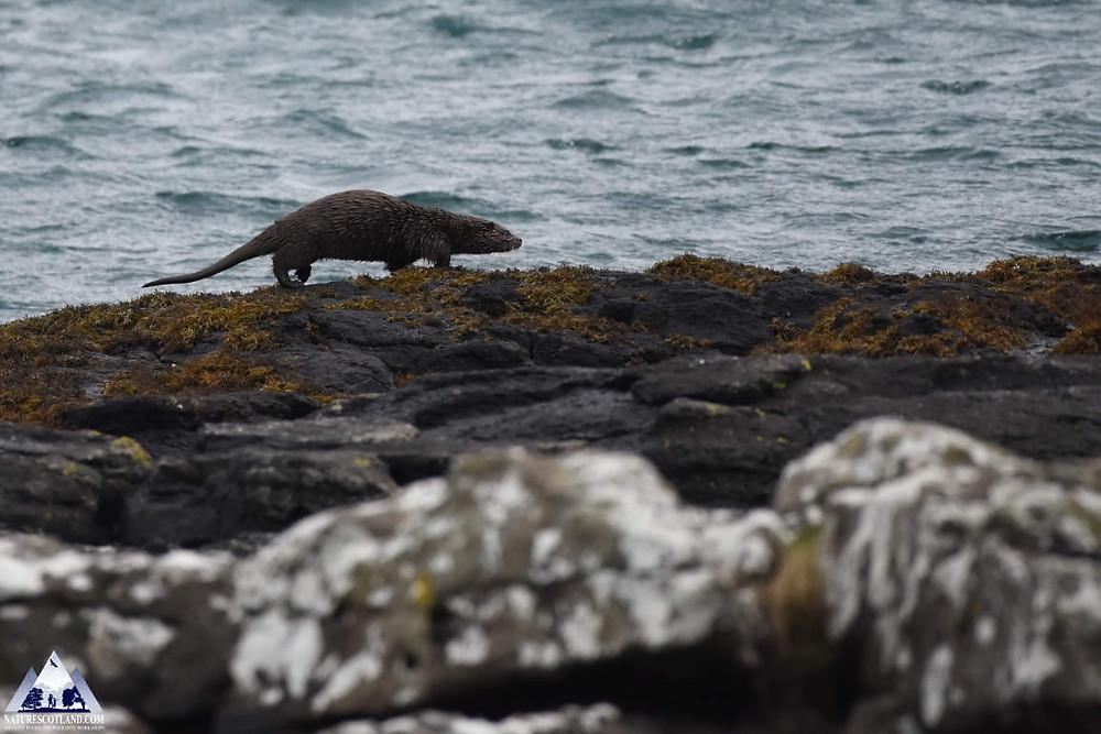 Otter, Mull, Isle of Mull, Nature Tours, Wildlife Tours,