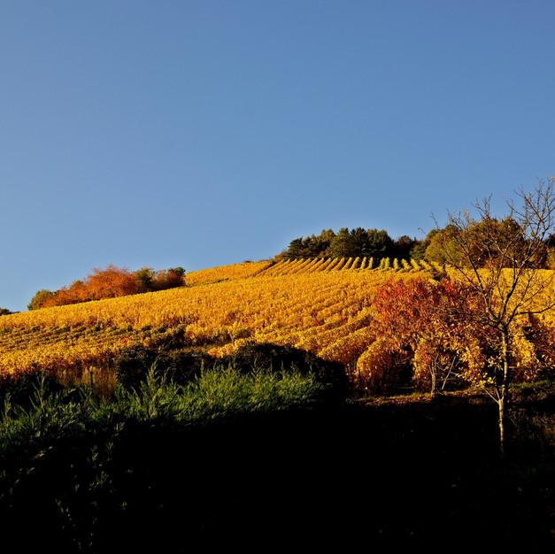 Terroir, le Felsberg à Bernardvillé