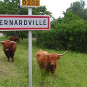 Vaches highlands Bernardvillé