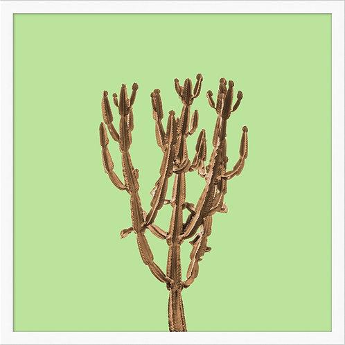 Sherbet Cactus 3