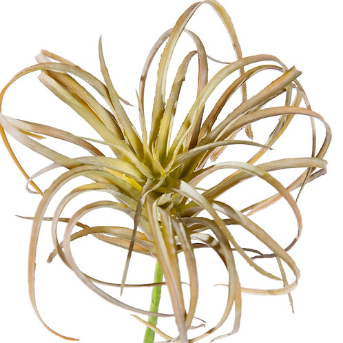 Micro Curly Tillandsia