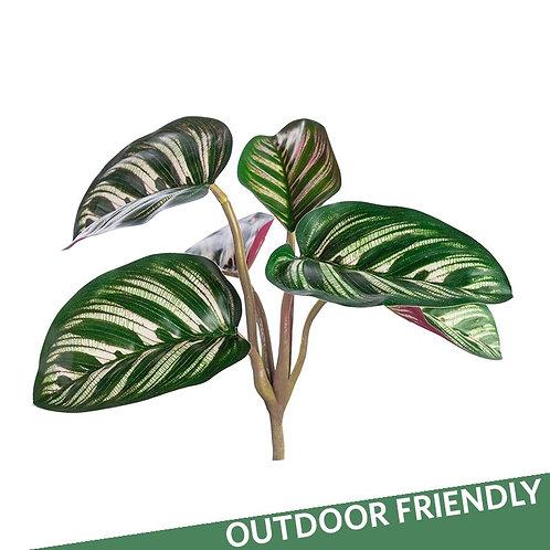 Outdoor Calathea Bush