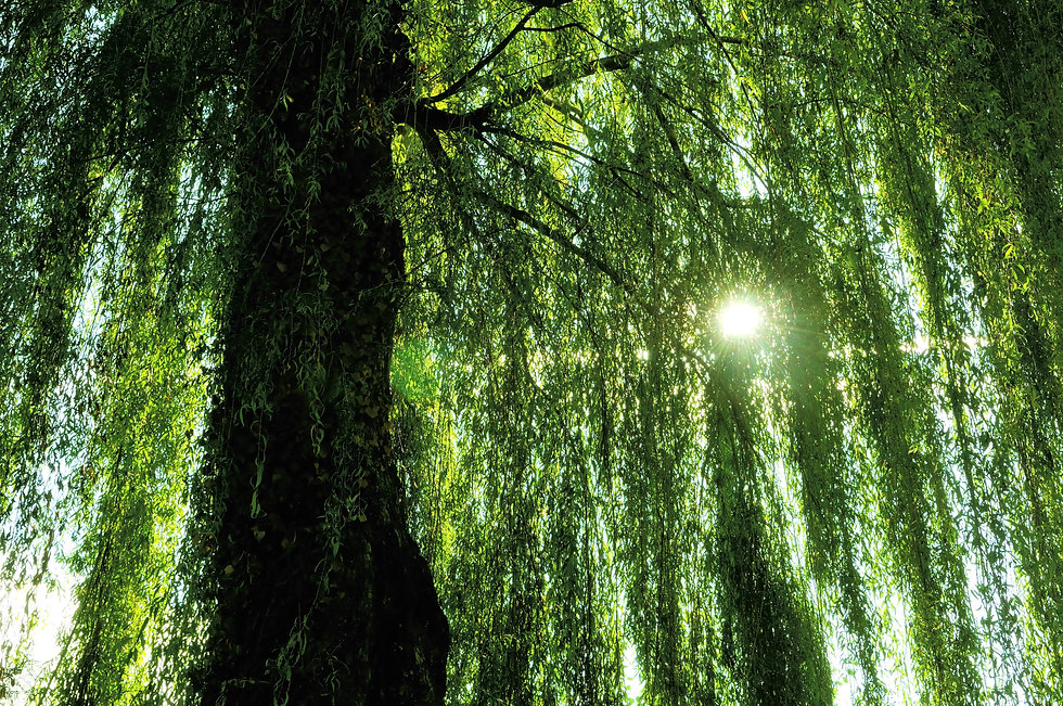 under the weeping willow.jpg