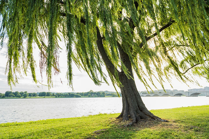 Willow tree swaying in wind by Potomac R