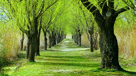 a path in the park with willow  trees on