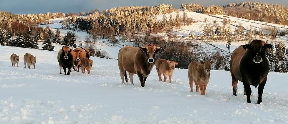 Nos vaches Aubrac
