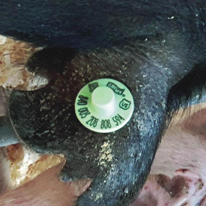 Swine-tag-1_edited.jpg