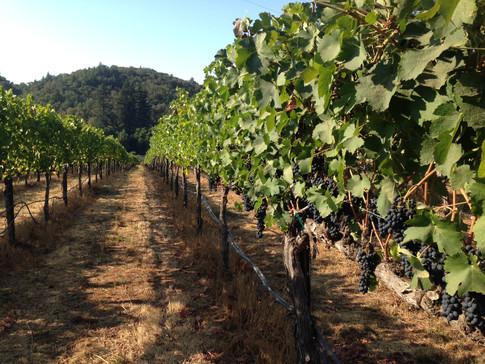vineyardrow.JPG