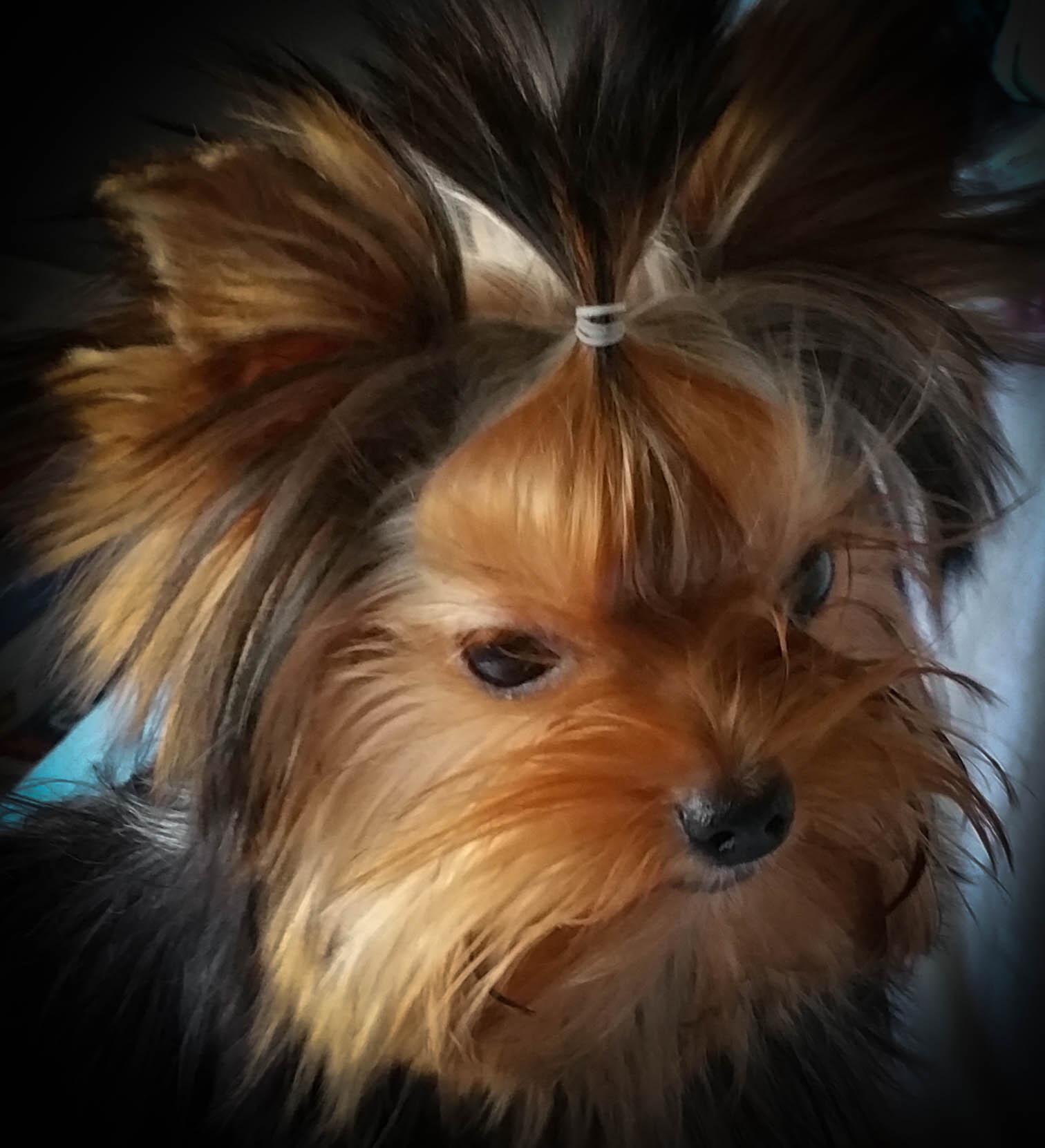 Yorkie puppies | United States | NorwoodYorkies