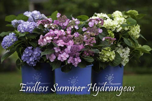 endless-summer-hydrangea-b1.jpg