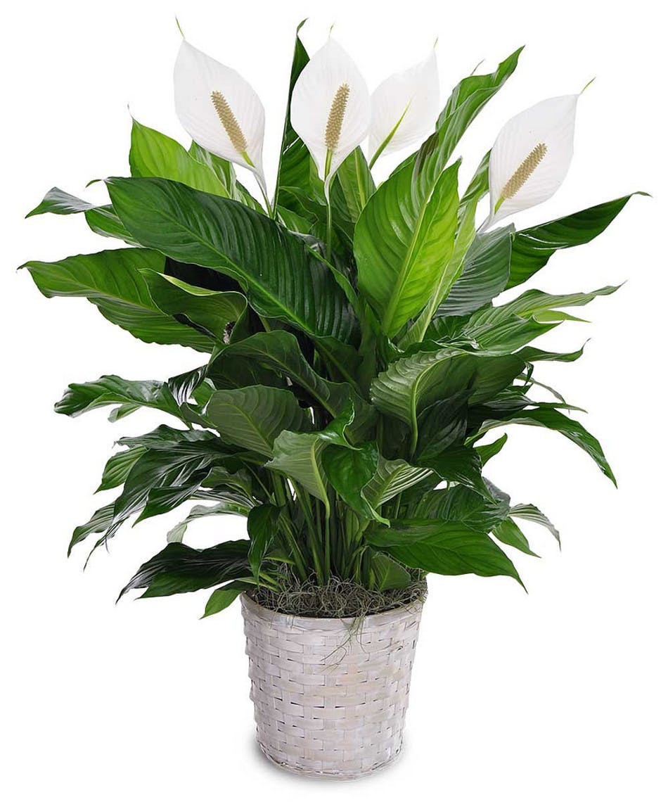 detoxifying plants