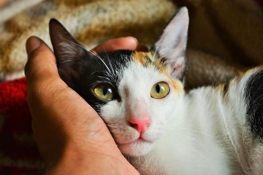 Kuvassa on monivärisen kissan pää ja ihmisen käsi pään takana. Käsi silittää kissaa ja kissa katsoo kohti silittäjää. Kuva: Pexels.