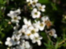 beautiful_picture_of_honeybee_on_manuka_