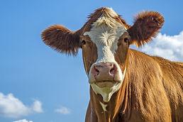 cow-g6520a5547_1920.jpg