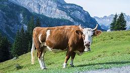 cow-g3995e50d0_1920.jpg
