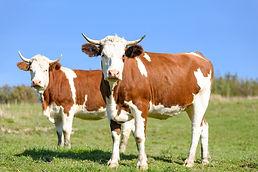 cows-on-pasture-gbadcf57ad_1920.jpg