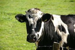 cow-g21ef7fe58_1920.jpg