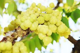 Star-Gooseberry-Phyllanthus-Acidus-Fruit