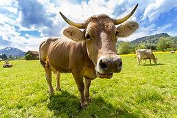 cow-gdd649fa1f_1920.jpg