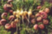 maca_root_herb_img-800x530.jpg