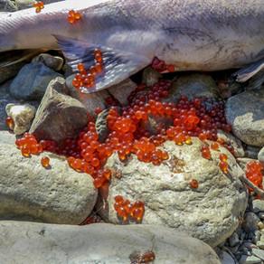 Fish eggs, the forgotten food superstar!