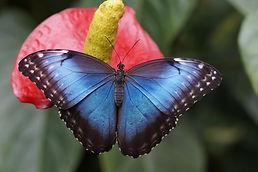 blue-morpho-g59bc019b7_1920.jpg